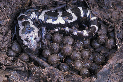 Salamanders Photograph - An Endangered Marbled Salamander Nests by Peter Essick