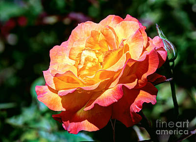 Photograph - An Hdr Rose by Chris Anderson