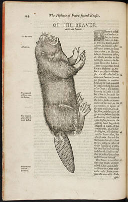 An Illustration Of A Beaver Art Print