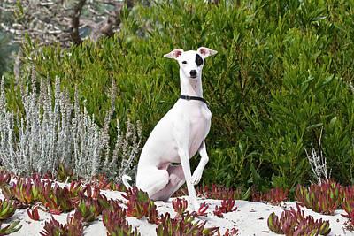 Greyhound Photograph - An Italian Greyhound Sitting by Zandria Muench Beraldo