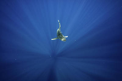 Photograph - An Oceanic Whitetip Shark Swims by Andy Mann