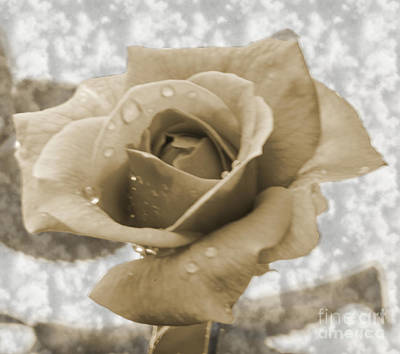 Photograph - An Old Fashion Rose by Donna Brown