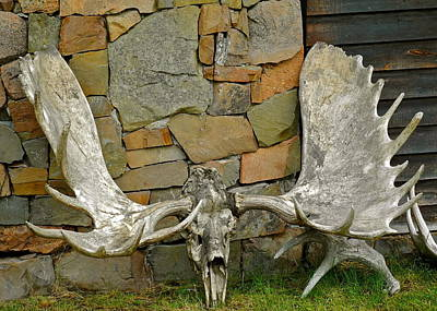 Photograph - An Old Moose Antler by Kirsten Giving