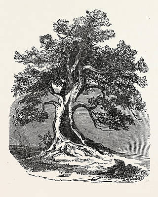 An Old Oak, In Its Decayed State Art Print