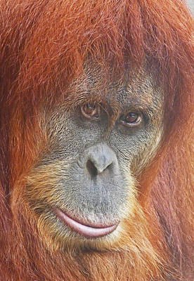Photograph - An Orangutan Observing You by Margaret Saheed