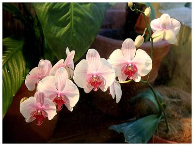 Photograph - An Orchid Delight by Frank Wickham