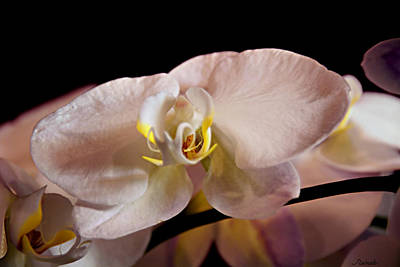 Photograph - The Lisa Orchid by Renee Anderson