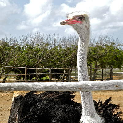 Photograph - An Ostrich Against A Railing by Kirsten Giving
