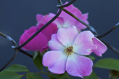 Photograph - An Unbroken Wild Spirit - A Wild Rose by Jane Eleanor Nicholas
