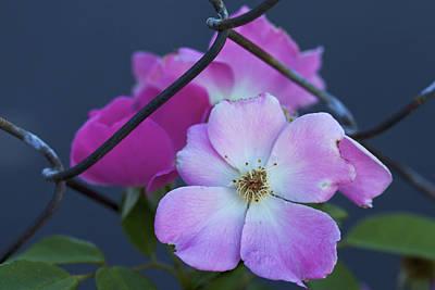 Photograph - An Unbroken Wild Spirit - A Wild Rose by Jane Eleanor Nicholas