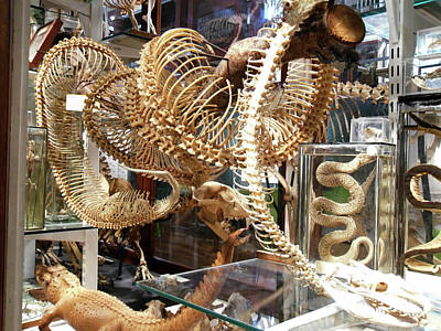 Adaptation Photograph - Anaconda Skeleton by Ucl, Grant Museum Of Zoology