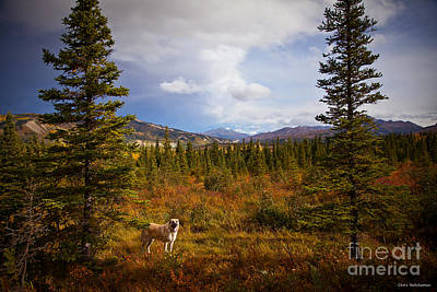 Photograph - Anatolian Shepherd by Chris Heitstuman