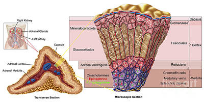 Physiology Digital Art - Anatomy Of Adrenal Gland, Cross Section by Stocktrek Images