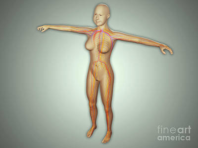 Anatomy Of Female Body With Arteries Print by Stocktrek Images