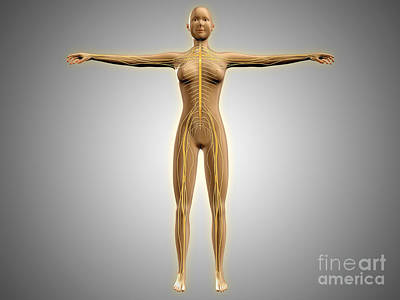 Anatomy Of Female Body With Nervous Art Print