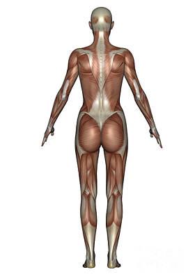 Tendon Digital Art - Anatomy Of Female Muscular System, Back by Elena Duvernay