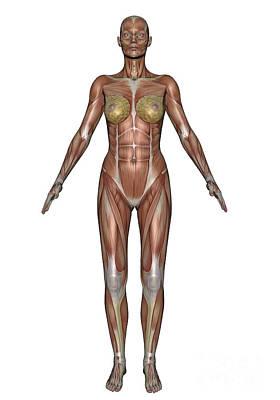 Muscular Digital Art - Anatomy Of Female Muscular System by Elena Duvernay