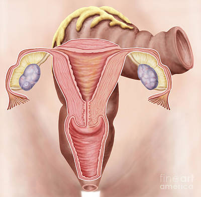 Anatomy Of Female Reproductive System Art Print by Stocktrek Images