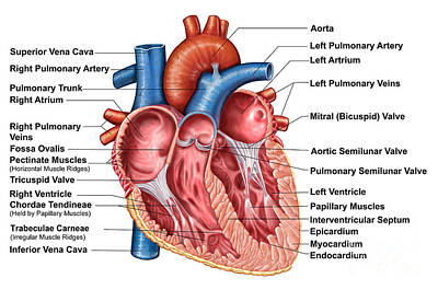 Anatomy Of Heart Interior, Frontal Art Print