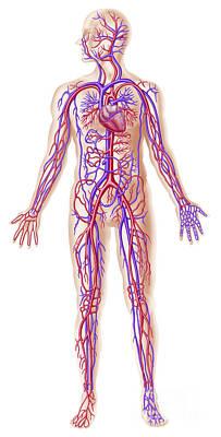 Anatomy Of Human Circulatory System Print by Leonello Calvetti