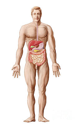 Anatomy Of Human Digestive System, Male Art Print by Stocktrek Images
