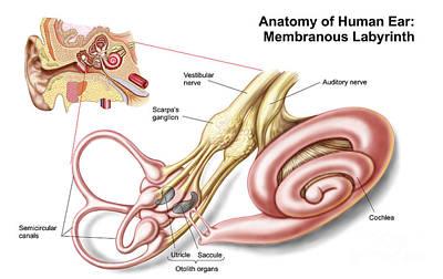 Anatomy Of Human Ear, Membranous Art Print by Stocktrek Images