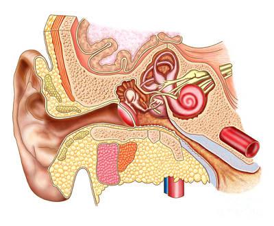 Anatomy Of Human Ear Art Print by Stocktrek Images
