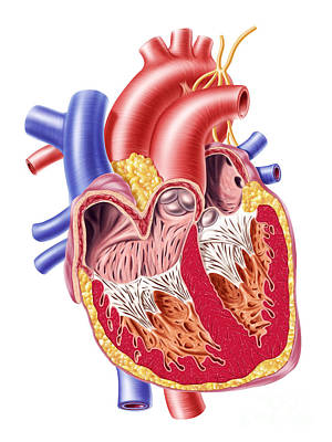 Anatomy Of Human Heart, Cross Section Art Print