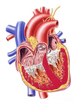 Anatomy Of Human Heart, Cross Section Print by Leonello Calvetti