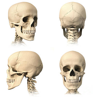 Anatomy Of Human Skull From Different Print by Leonello Calvetti