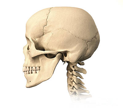 Human Skeleton Photograph - Anatomy Of Human Skull, Side View by Leonello Calvetti