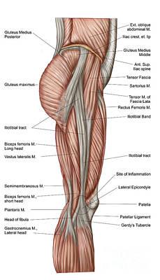 Rectus Femoris Digital Art - Anatomy Of Human Thigh Muscles by Stocktrek Images
