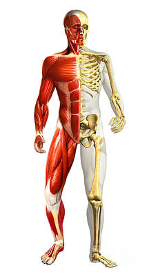 Muscular Digital Art - Anatomy Of Male Body With Half Skeleton by Leonello Calvetti