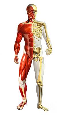 Human Skeleton Digital Art - Anatomy Of Male Body With Half Skeleton by Leonello Calvetti