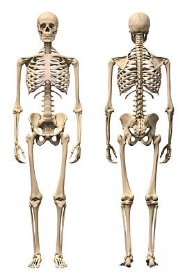 Human Joint Digital Art - Anatomy Of Male Human Skeleton, Front by Leonello Calvetti