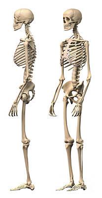 Human Skeleton Digital Art - Anatomy Of Male Human Skeleton, Side by Leonello Calvetti
