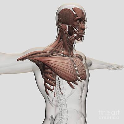 Serratus Anterior Digital Art - Anatomy Of Male Muscles In Upper Body by Stocktrek Images
