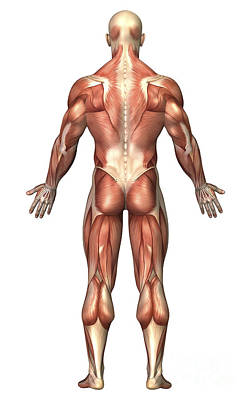 Muscular Digital Art - Anatomy Of Male Muscular System, Back by Stocktrek Images