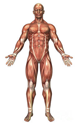 External Oblique Muscles Digital Art - Anatomy Of Male Muscular System, Front by Stocktrek Images