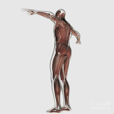 Anatomy Of Male Muscular System Print by Stocktrek Images