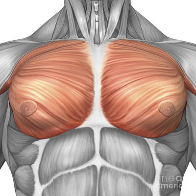 Muscular Digital Art - Anatomy Of Male Pectoral Muscles by Stocktrek Images
