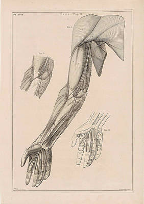 Human Skeleton Drawing - Anatomy Of The Arm, Hand And Shoulder With Numbers by Jacob Van Der Schley