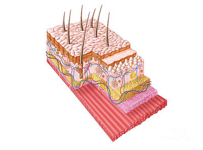 Anatomy Of The Human Skin Art Print