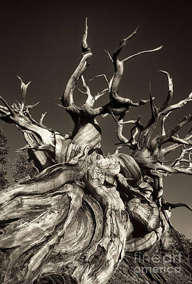 Art Print featuring the photograph Ancient Bristlecone Pine In Black And White by Dave Welling