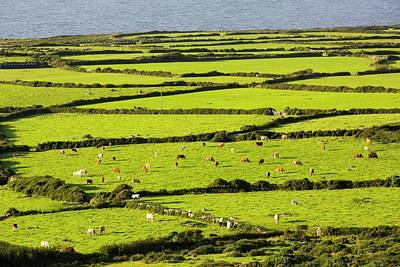 Brown Cow Photograph - Ancient Field Boundaries Near Zennor by Ashley Cooper