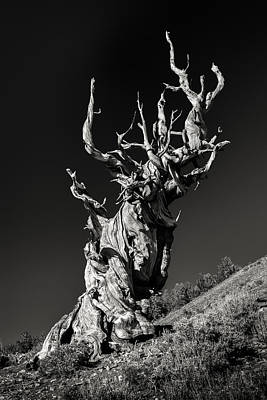Bristlecone Photograph - Ancient by Joseph Smith