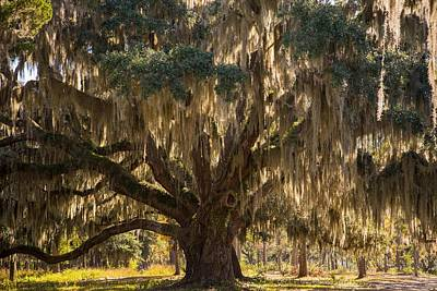 Photograph - Ancient Oak 1 by Bonnie Leigh Delar