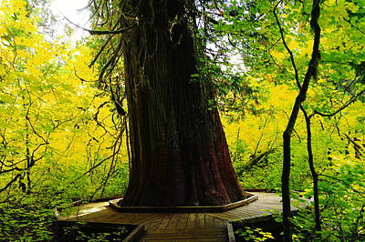Ancient Old Growth Art Print by Jeff Swan