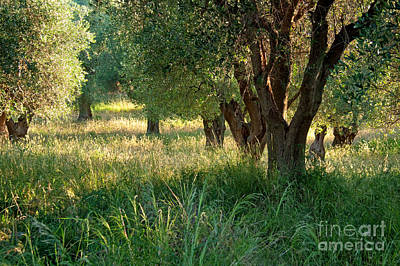 Ancient Olive Trees On The Gargano Coast Art Print by Julia Hiebaum