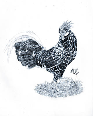 Drawing - Ancona Chicken by Ashe Skyler